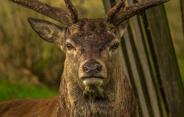 Latest Laois News: Deer collisions ongoing danger for Laois drivers